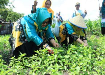 Ketua TP PKK Banjarbaru Hj Ririen Nadjmi Adhani (kiri) memanen daun kemangi. Foto : Upik - Hms Bjb