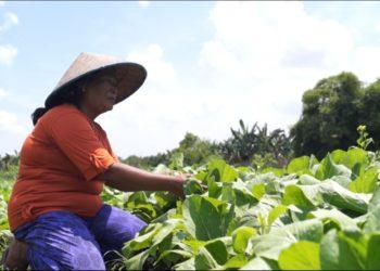 Seorang petani di Kampung Sayur Kelurahan LAURA tengah beraktivitas. Foto - Dema