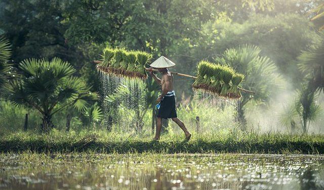 Ilustrasi. Petani tengah membawa bibit padi untuk ditanam. Foto : pixabay